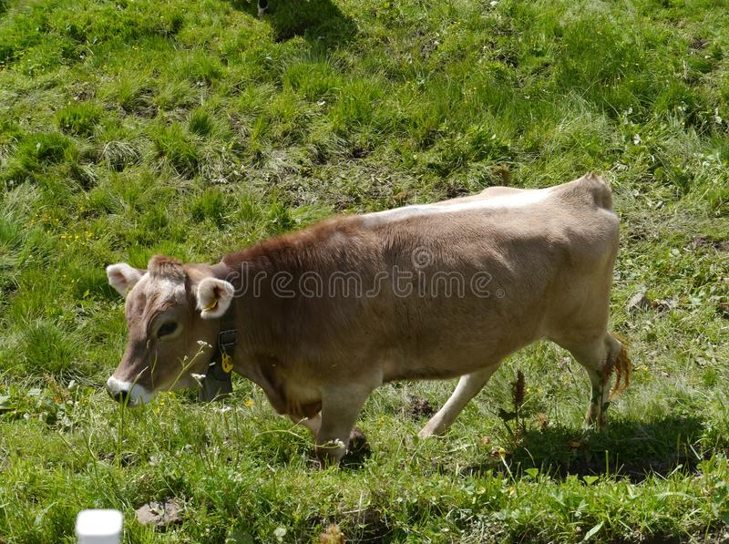 Swiss cows in a meadow in the Swiss mountains stock photos