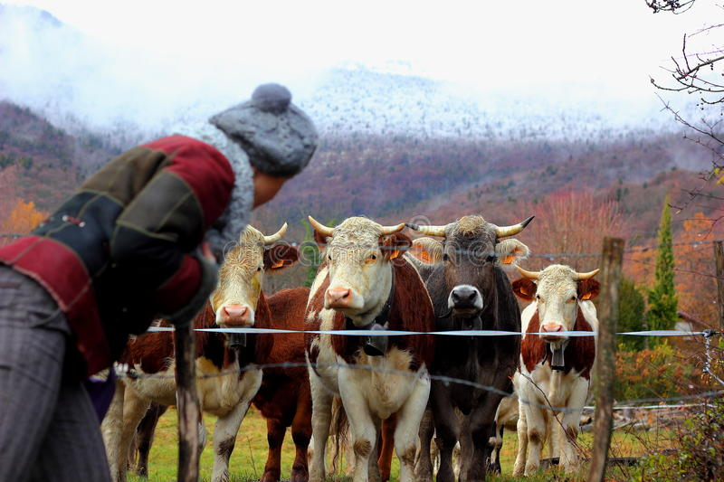 Swiss male calves and girl. Beautiful well-fed young bulls approached the fence to pose for the photographer and look at a girl they liked, behind the bulls royalty free stock images