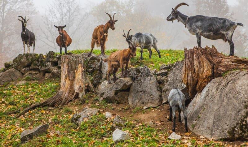 Swiss Mountain Goats. Domesticated Swiss mountain goats at the Ballenberg Open air Museum, Switzerland stock photo