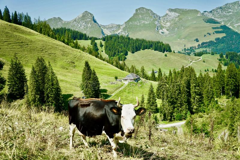 Swiss mountains and a black and white cow in the pasture. A taste of Switzerland, canton de Fribourg, Gastlosen area stock photo