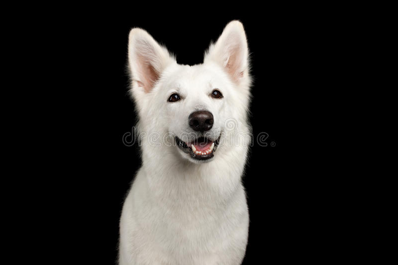 Swiss Shepherd dog on Isolated Black Background. Portrait of White Swiss Shepherd Dog Smiling on Isolated Black Background, front view royalty free stock photos