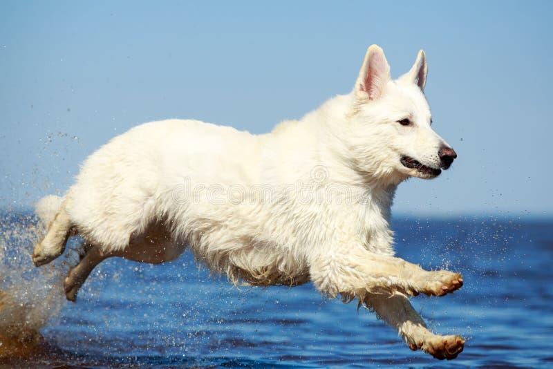 Download Swiss Shepherd Dog stock image. Image of berger, sand - 31384701