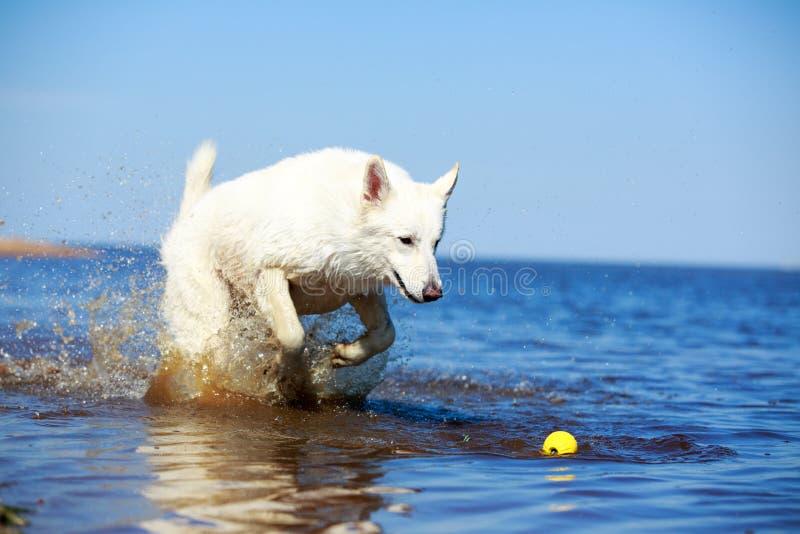 Download Swiss Shepherd Dog stock photo. Image of berger, swiss - 31384790