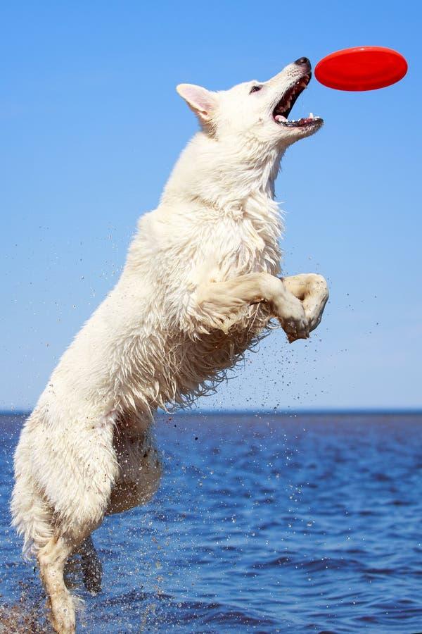 Download Swiss Shepherd Dog stock photo. Image of swiss, berger - 31384906