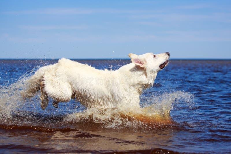 Download Swiss Shepherd Dog stock image. Image of jump, animal - 31384945
