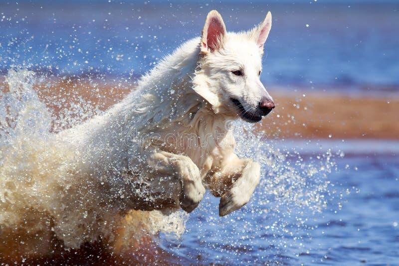 Download Swiss Shepherd Dog stock photo. Image of beach, shepherd - 31385202