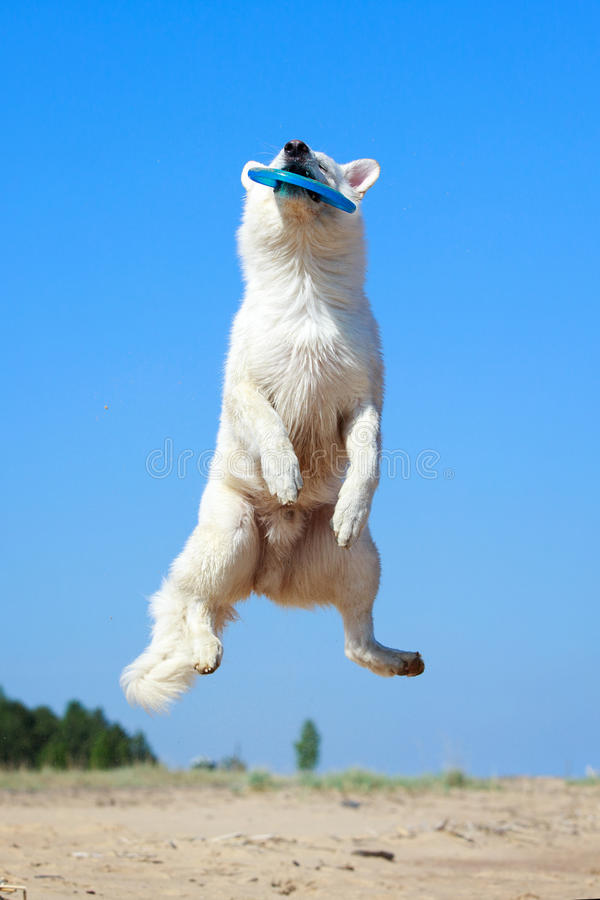 Download Swiss Shepherd Dog stock photo. Image of animal, berger - 31385582