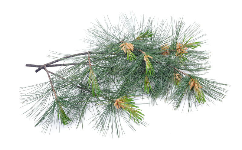 Swiss stone pine. Branch isolated on white royalty free stock photo