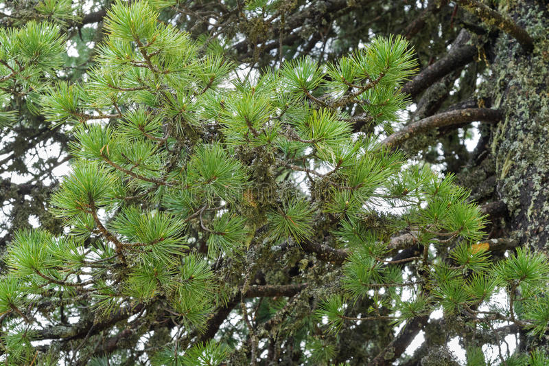 Swiss stone pine needle leaves with lichen growing on its branch royalty free stock photo