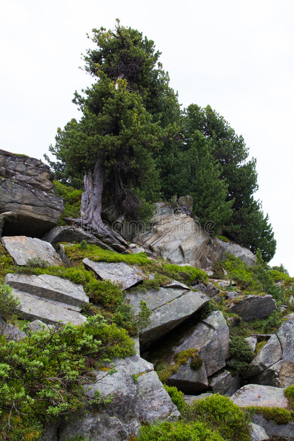 Swiss stone pine and norway spruce on rocky substrata stock photo