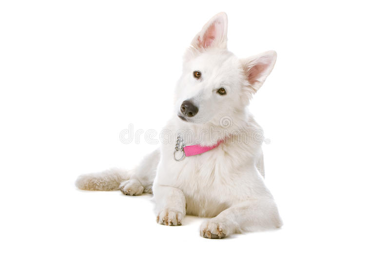 Swiss white shepherd dog stock photos