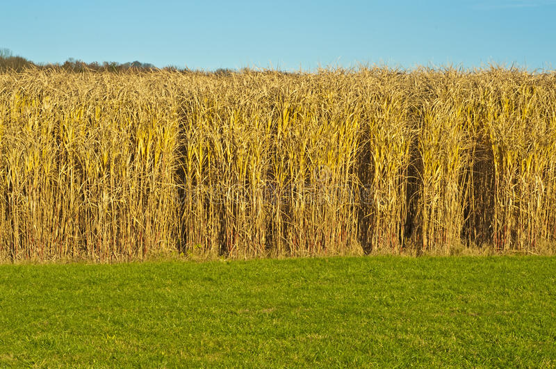 Download Switch grass stock image. Image of miscanthus, alternative - 16892275