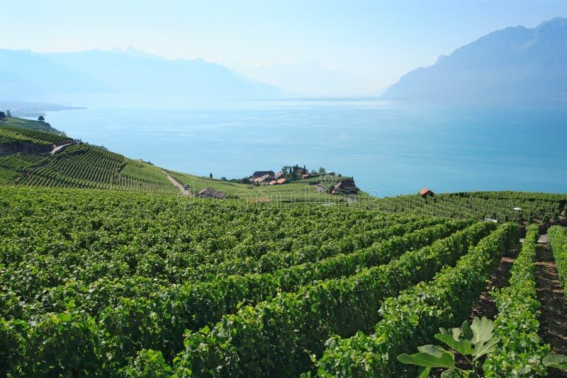 switzerland vingårdar arkivfoton