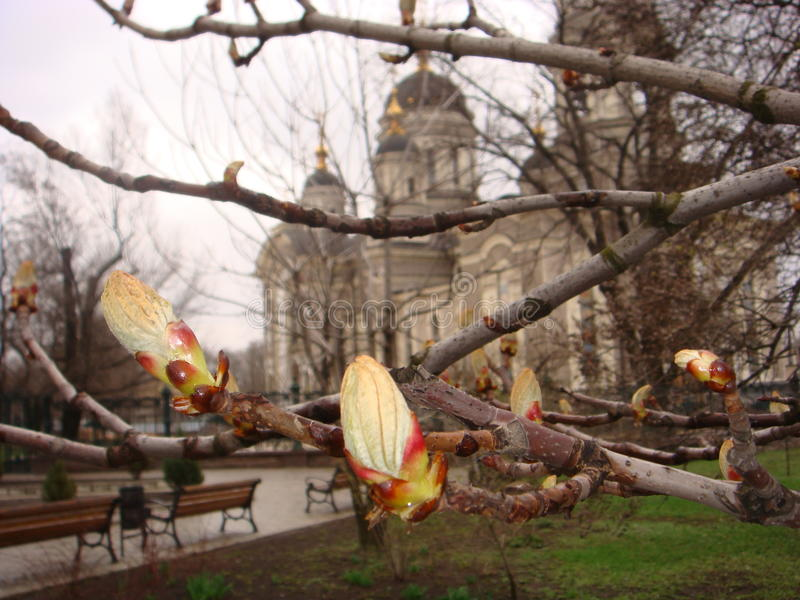 Swollen buds on the branch of chestnut. royalty free stock photo