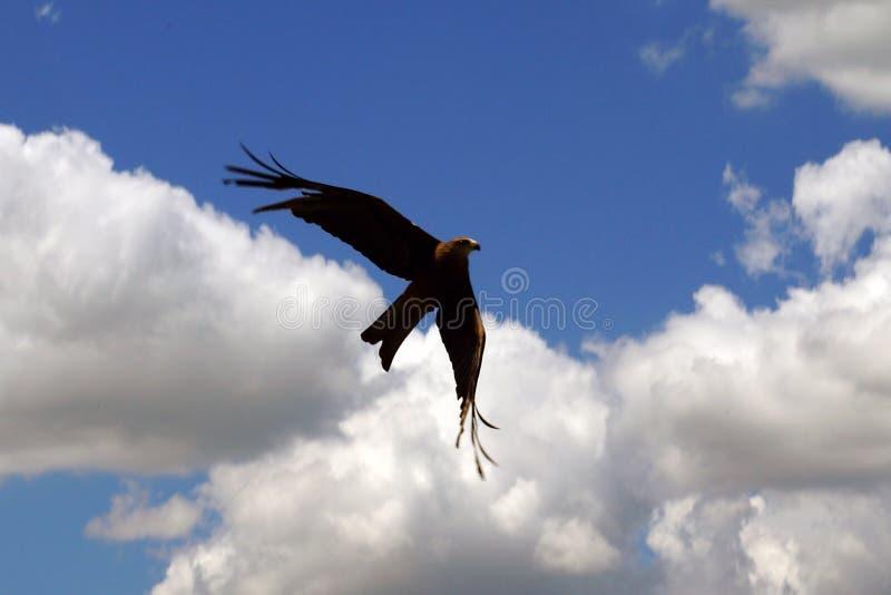 Swooping y ayuna el halcón inminente en aire foto de archivo