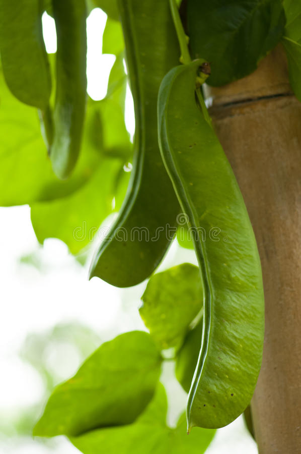 Sword Bean Royalty Free Stock Photo