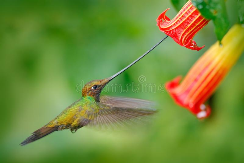 Sword-billed hummingbird, Ensifera ensifera, fly next to beautiful orange flower,bird with longest bill, in nature forest habitat, royalty free stock photos