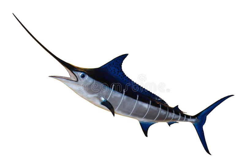 Swordfish Błękitny Marlin obrazy royalty free