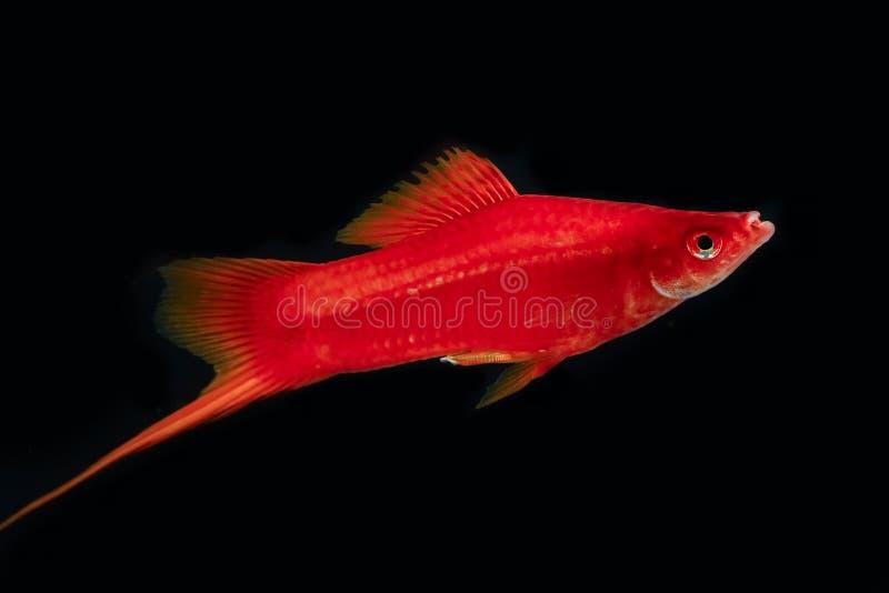 Swordtail czerwonego koloru samiec w zmroku zdjęcia stock