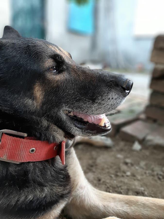 Swtdog stock foto