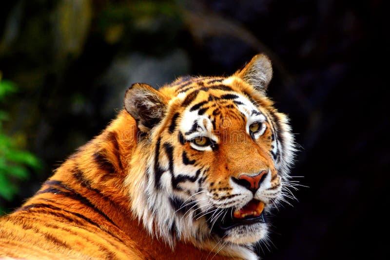 Syberia tygrys obraz royalty free