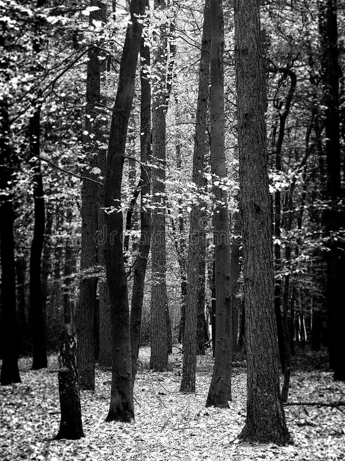 Syberian forest royalty free stock images