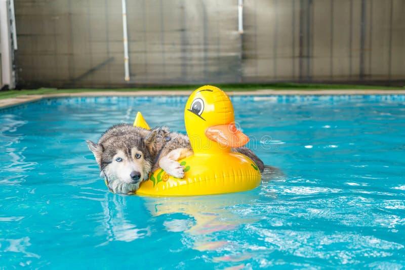 syberien skrovlig simning i pölen med badcirkeln fotografering för bildbyråer