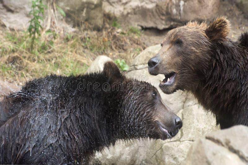 Syberyjscy Brown niedźwiedzie zdjęcia royalty free
