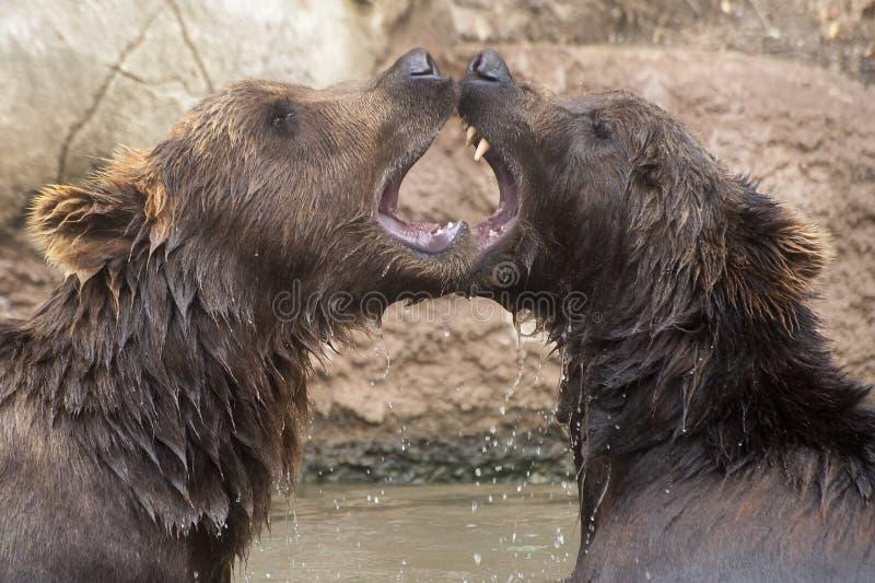 Syberyjscy Brown niedźwiedzie zdjęcia stock