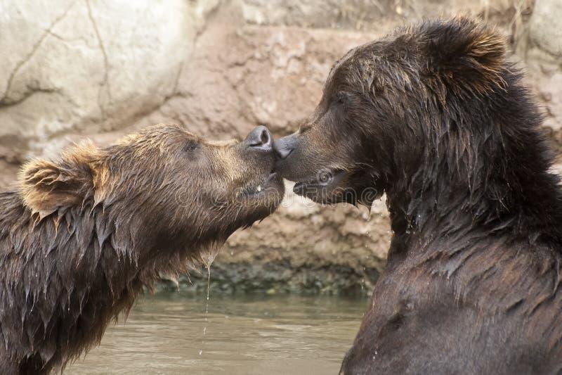Syberyjscy Brown niedźwiedzie obrazy stock