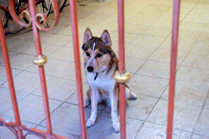 Syberyjscy trakenu psa zwierzęta domowe w domu fotografia royalty free