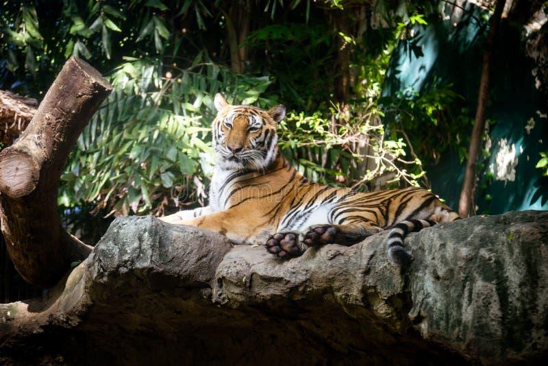 Syberyjski Amur tygrys zdjęcie stock