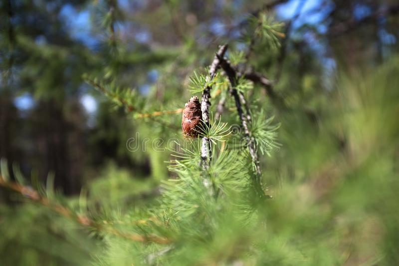 Syberyjski cedr Tło młodzi sosnowi rożki obrazy stock