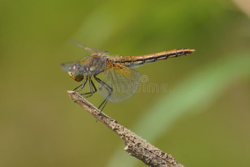 Syberyjski Dragonfly zdjęcia royalty free