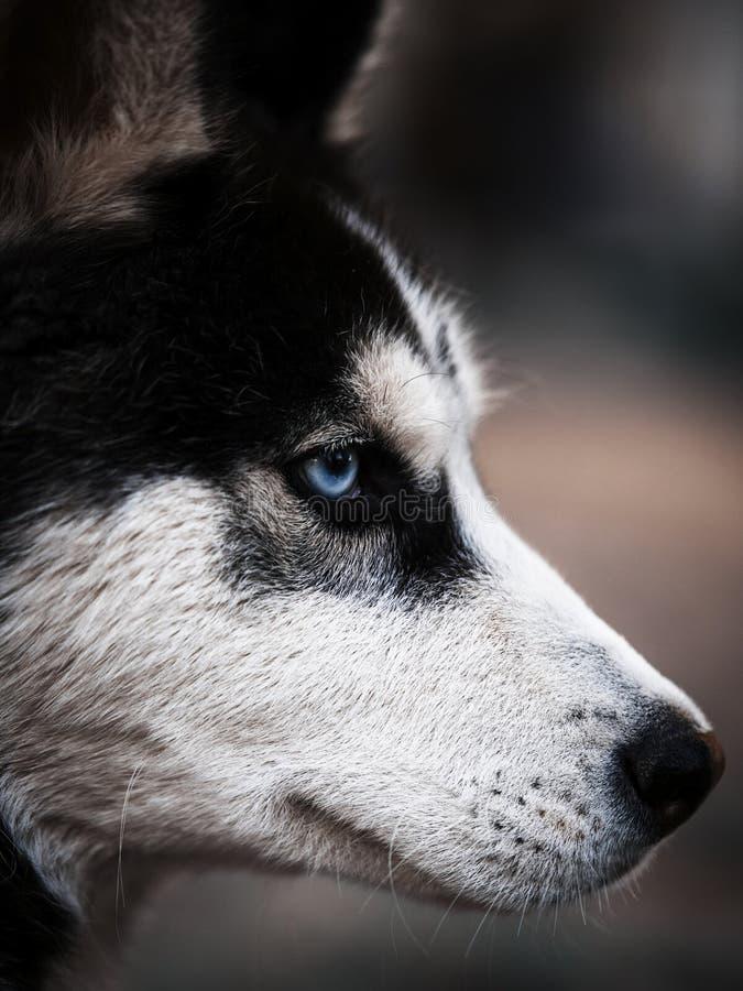 Syberyjski husky, niebieskie oko, Królewski obrazy stock