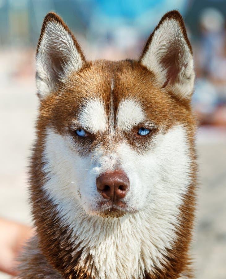 Syberyjski husky z niebieskim okiem zdjęcie royalty free