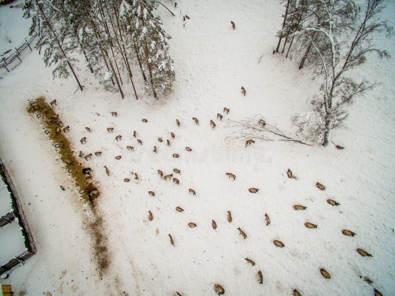 Syberyjski jeleń w klauzurze altai Rosja fotografia stock