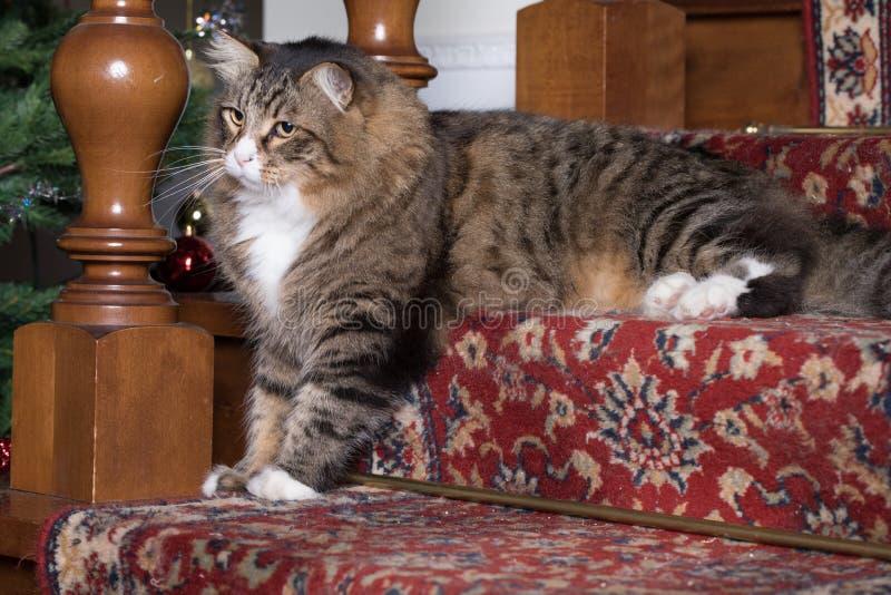 Download Syberyjski kot W Salowym obraz stock. Obraz złożonej z brąz - 106922847