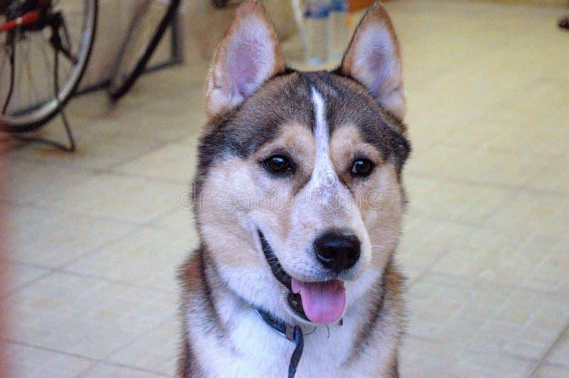 Syberyjski trakenu pies jest mile widziany zdjęcie stock