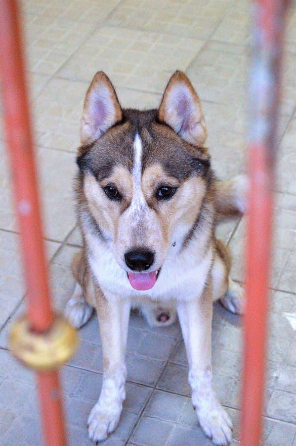 Syberyjski trakenu pies w domu zdjęcia royalty free