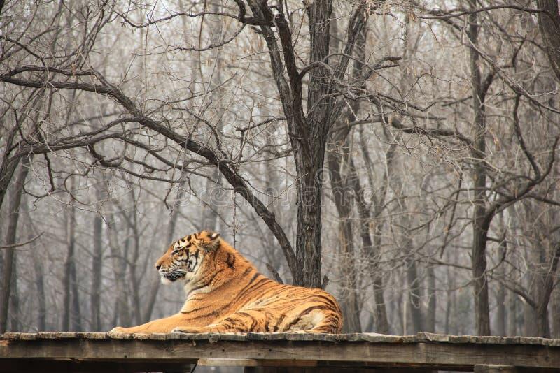 Syberyjski tygrys (naukowy imię: Panthera Tigris altaica) zdjęcia stock