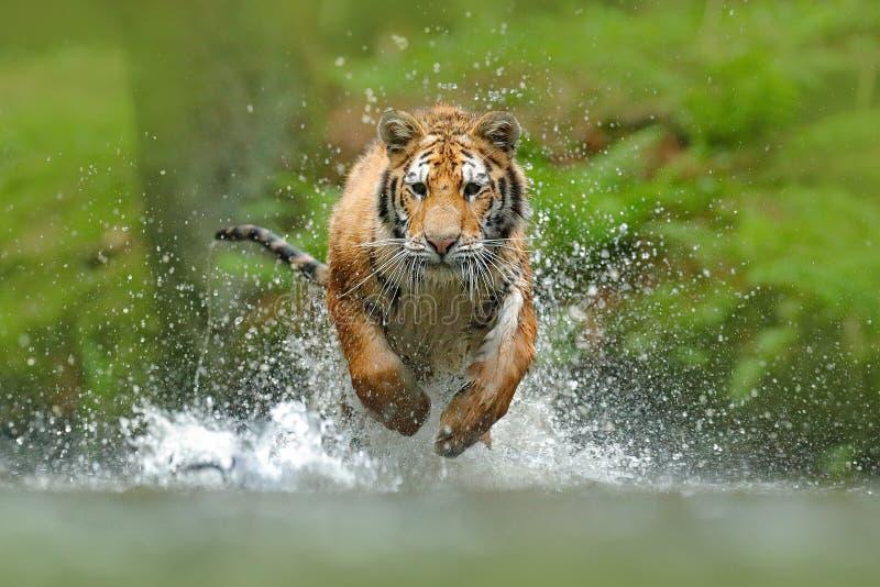 Syberyjski tygrys, Panthera Tigris altaica, niskiego kąta fotografii twarzy bezpośredni widok, biega w wodzie bezpośrednio przy k fotografia stock