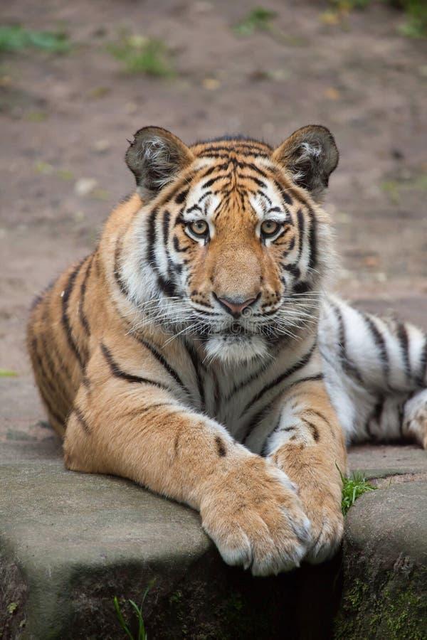 Syberyjski tygrys & x28; Panthera Tigris altaica& x29; obraz stock
