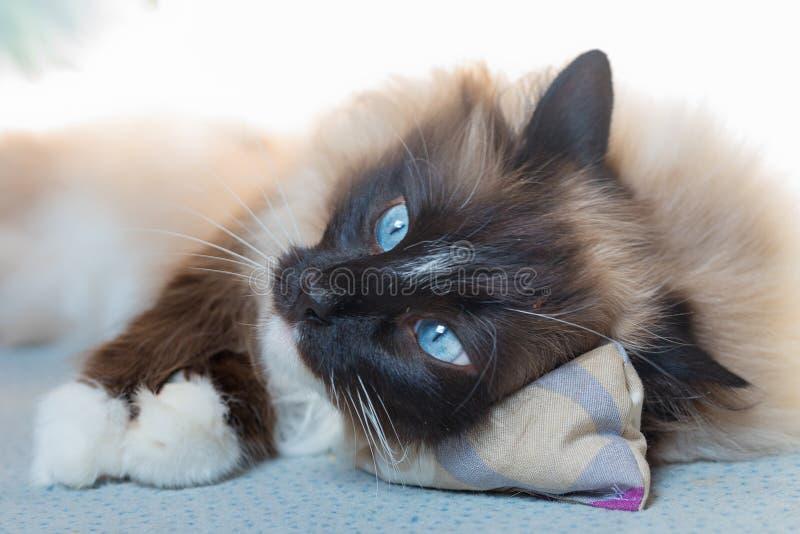 Syberyjski zarodowy kot bawić się przy podłogą - neva maskarada - fotografia royalty free