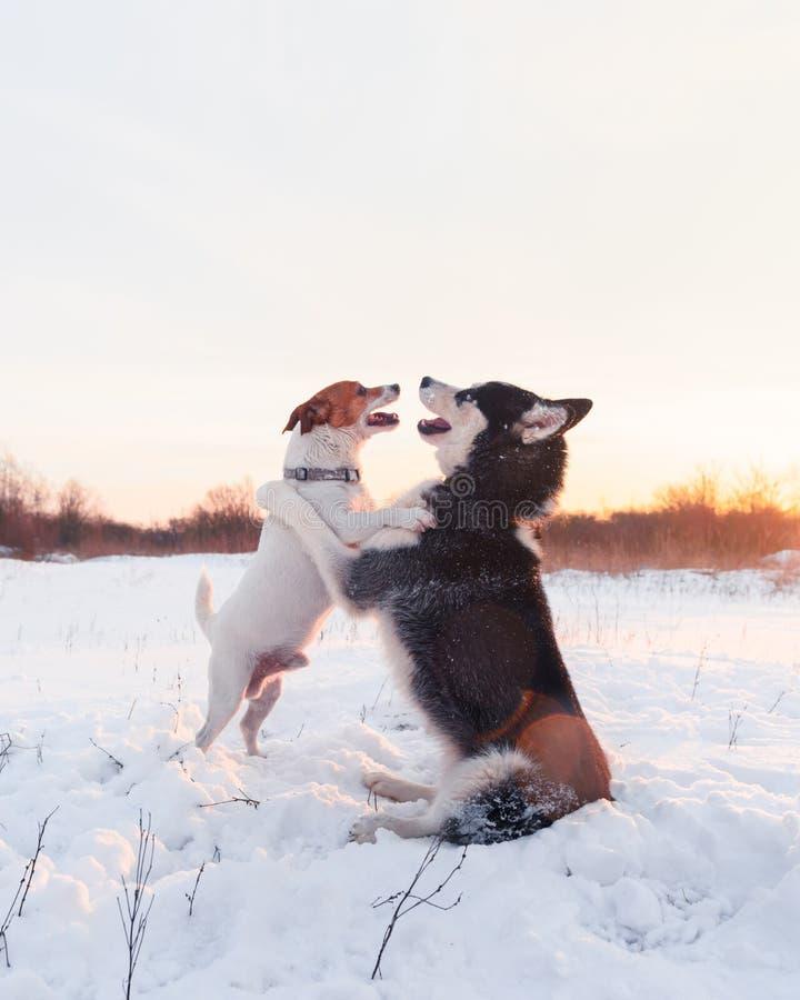 Syberyjskiego husky i dźwigarki Russel terier obraz royalty free