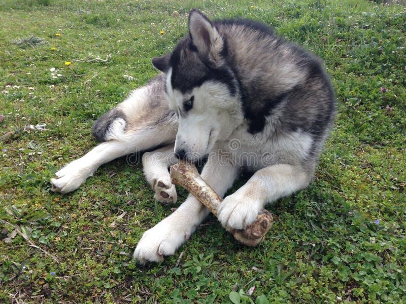 Syberyjskiego husky mienia kość fotografia royalty free