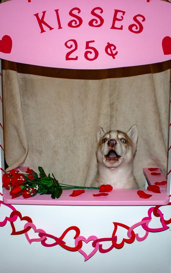 Syberyjskiego husky pies w całowania budka Temat valentines dzień i psa humor wielki dla pojęć zdjęcia stock