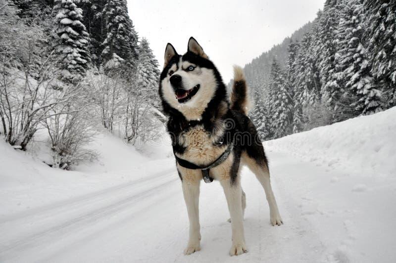Syberyjskiego husky psa perspektywa zdjęcie royalty free