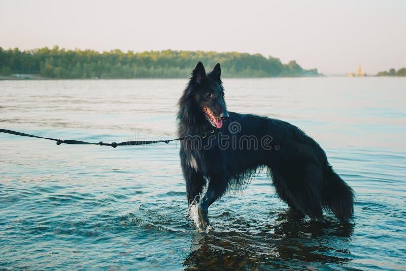 Syberyjskiego husky psia zostaje pobliska halna rzeka Pies pływa w jeziorze zdjęcia royalty free