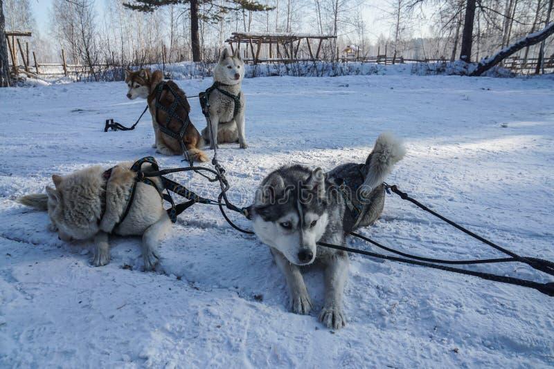 Syberyjskiego husky psy ciągnąć sanie nad śniegiem obraz royalty free